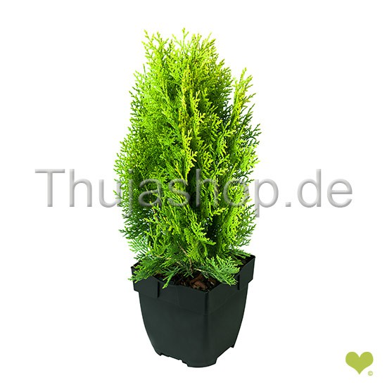 thuja orientalis aurea nana 25 30cm im topf. Black Bedroom Furniture Sets. Home Design Ideas