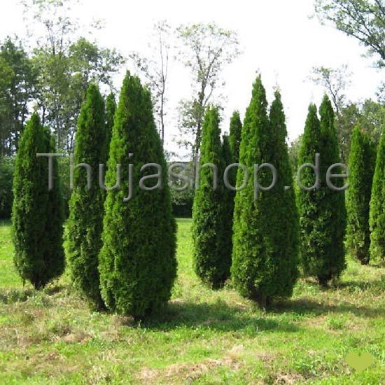 thuja occidentalis smaragd 100 125 cm getopft. Black Bedroom Furniture Sets. Home Design Ideas