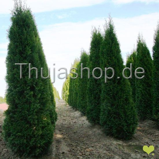thuja occidentalis smaragd 120 140 cm im topf gewachsen. Black Bedroom Furniture Sets. Home Design Ideas
