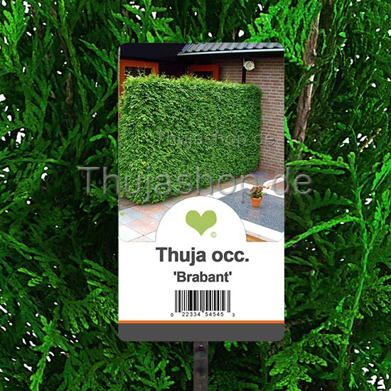 thuja occidentalis brabant 100 125cm getopft. Black Bedroom Furniture Sets. Home Design Ideas