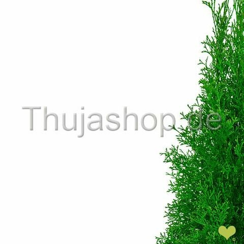 thuja occidentalis smaragd 100 125cm im topf gewachsen. Black Bedroom Furniture Sets. Home Design Ideas