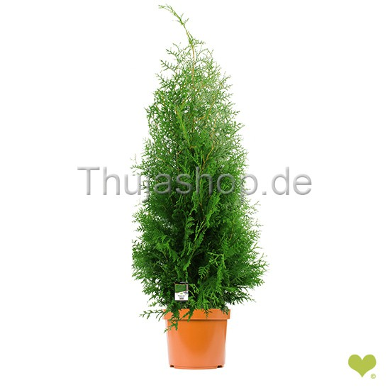 thuja occidentalis brabant 120 140cm im topf gewachsen extra qualit t. Black Bedroom Furniture Sets. Home Design Ideas