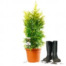 Thuja occidentalis 'Yellow Ribbon' | 50-60cm | Im Topf gewachsen