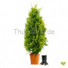 Thuja occidentalis 'Yellow Ribbon' | 120-140cm | Im Topf gewachsen | 12L